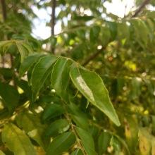 closeup curry leaf plant