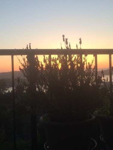 Sausalito Sunrise with my Lavender plant