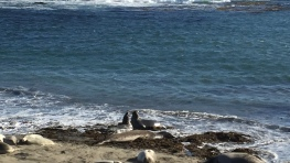 Secret of My SucCecil: Elephant Seal Love