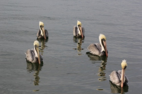 Pelicans in St Petersburgh