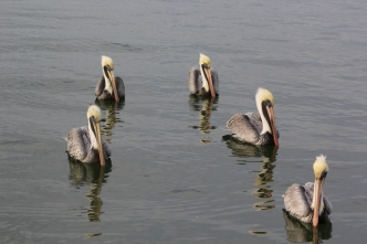Pelicans in St Petersburgh